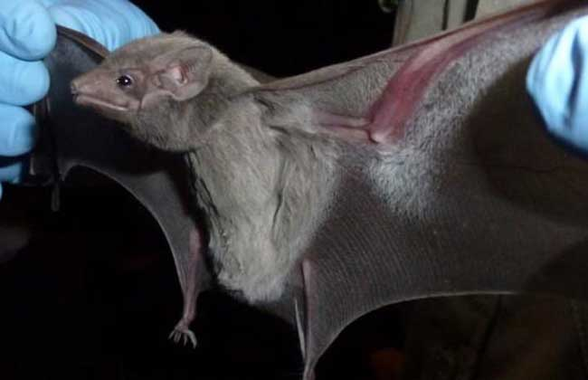 蝙蝠飞进屋里是吉是凶?