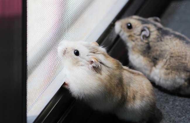 仓鼠怎么分辨公母图片