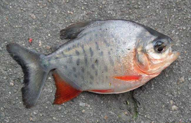 钓鲳鱼用什么饵料?