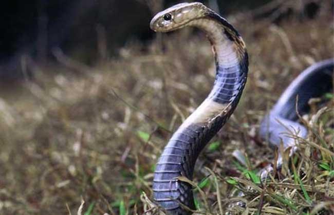 过山风和五步蛇谁厉害?