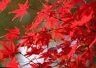 枫树的叶子像什么东西?