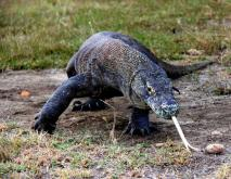 科莫多巨蜥吃什么食物?