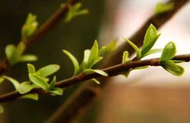 柳树什么时候发芽?