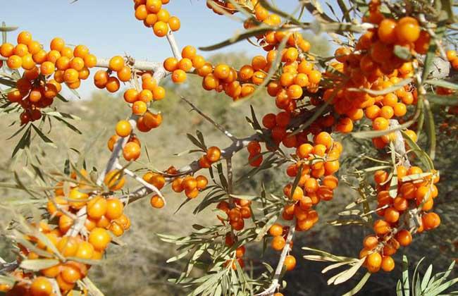 沙棘种子价格及种植方法