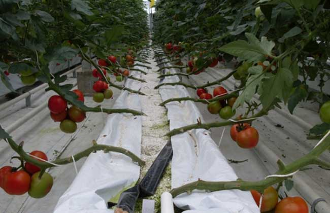 哪些蔬菜可以无土栽培?