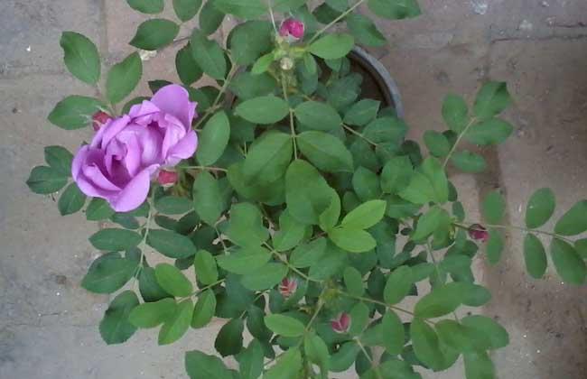 蔷薇苗价格