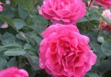 蔷薇盆栽多少钱一盆?