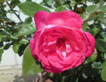 心有猛虎细嗅蔷薇是什么意思?
