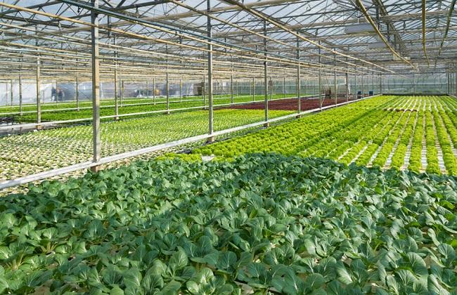 温室蔬菜3