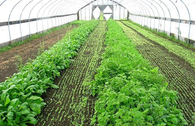 温室蔬菜4