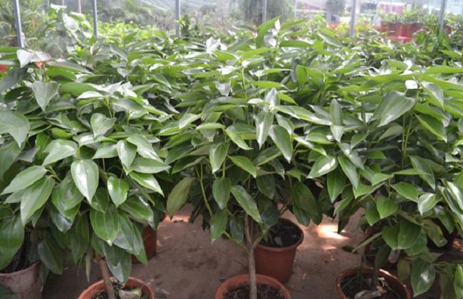 平安树四季养护方法