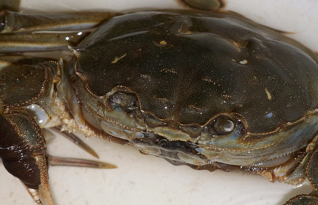 如何科学的养殖河蟹
