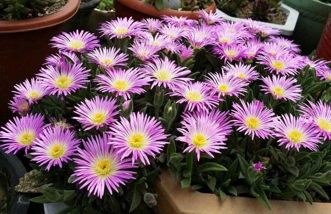 日本海棠什么时候开花图片