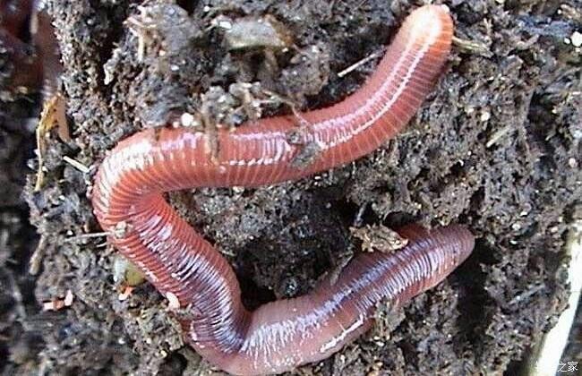 蚯蚓规模养殖技术