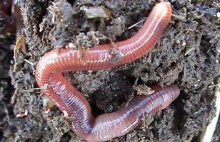 蚯蚓规模养殖技术 蚯蚓高产养殖方法