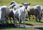 牛羊口蹄疫症状及防治方法