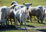 口蹄疫防治方法 牛得了口蹄疫怎么治 牛羊口蹄疫症状