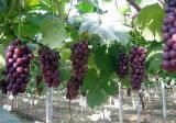 大棚葡萄二氧化碳气肥的施用方法