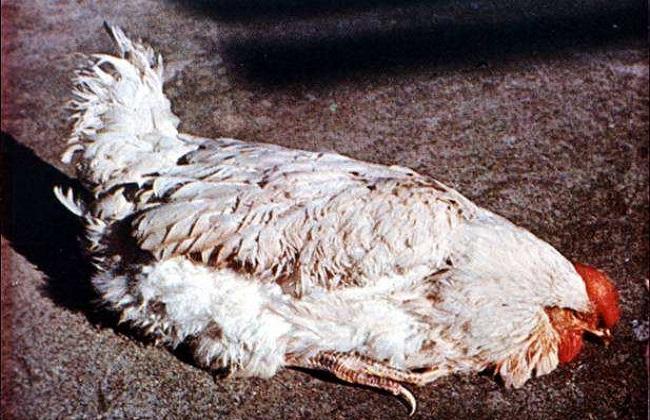 鸡常见呼吸道病的防控措施