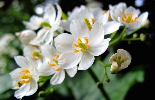 山荷叶花为什么会变透明