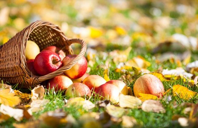 苹果树老掉苹果的原因