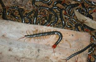 蜈蚣养殖常见疾病与防治方法 脱壳病黑斑病防治