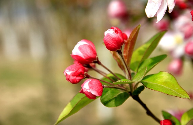 秋海棠和海棠的区别