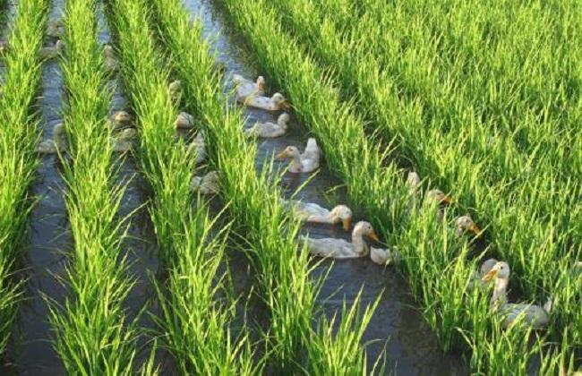 稻鸭共育生态种养技术