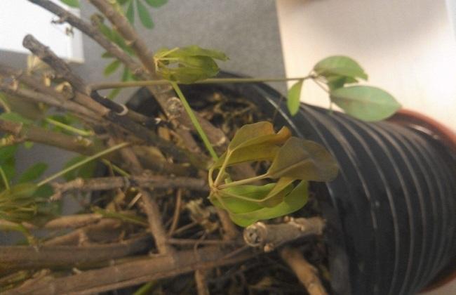 鸭脚木叶子发黑掉落处理办法