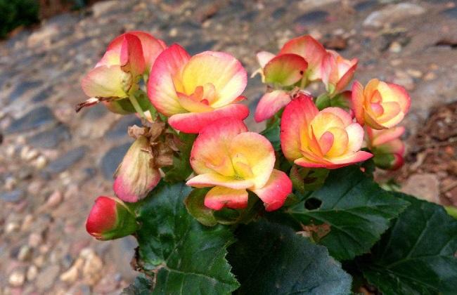 秋海棠有毒吗?