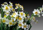 水仙花为什么不开花