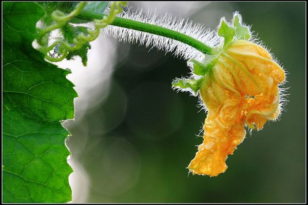 丝瓜花的功效和作用
