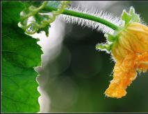 丝瓜花能吃吗? 丝瓜花的功效和作用