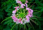 醉蝶花的花语是什么
