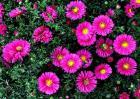 荷兰菊的养殖方法和注意事项