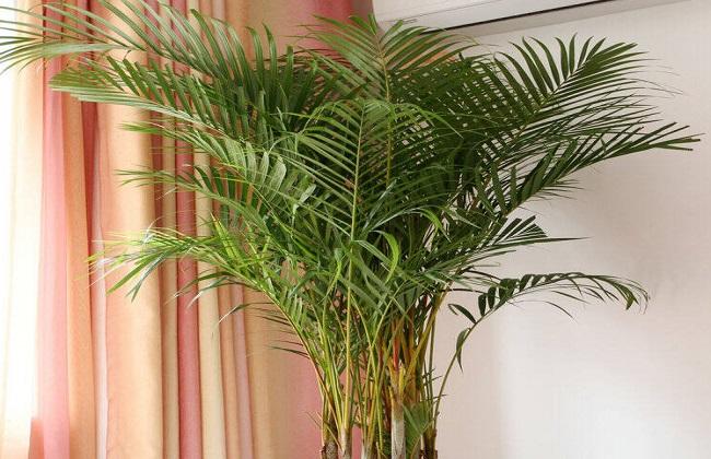 散尾葵叶子发黄干枯图片