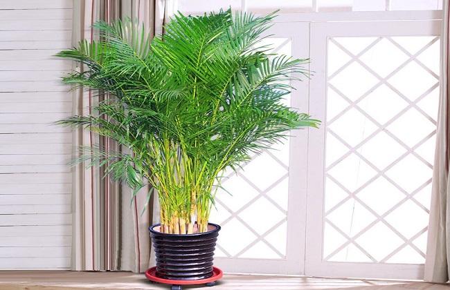 夏威夷椰子1