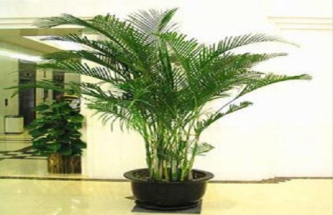 夏威夷椰子3
