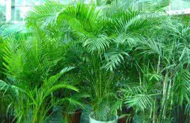 夏威夷椰子2