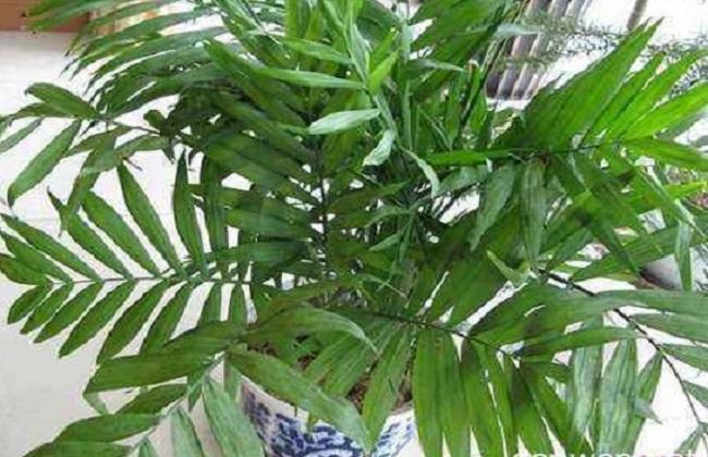 夏威夷椰子4