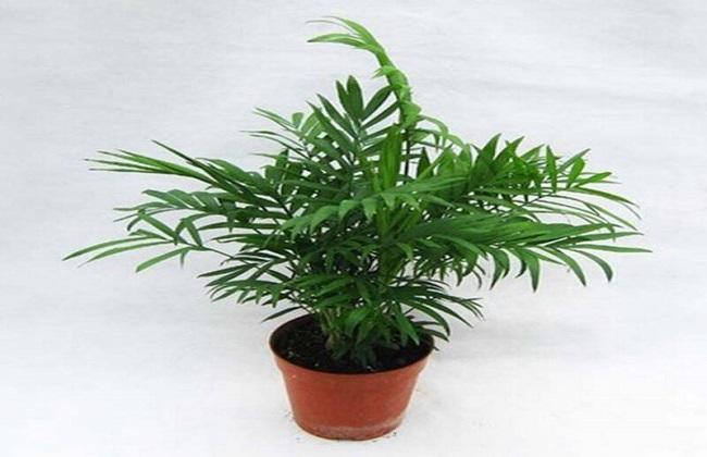 袖珍椰子1