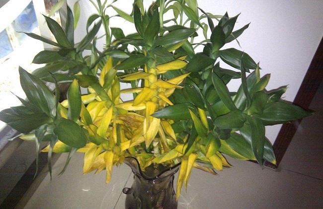莲花竹叶子发黄怎么办