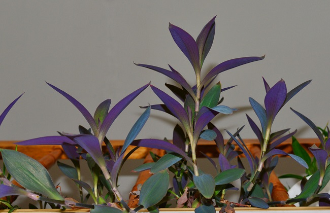 紫鸭拓草的功效与作用