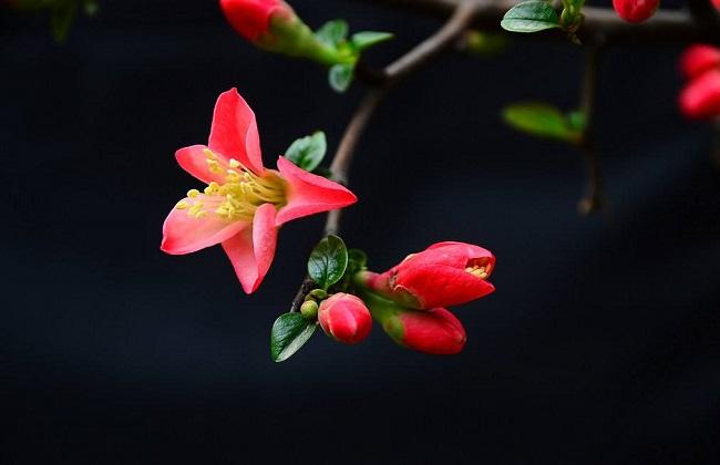 海棠叶子干枯发焦图片
