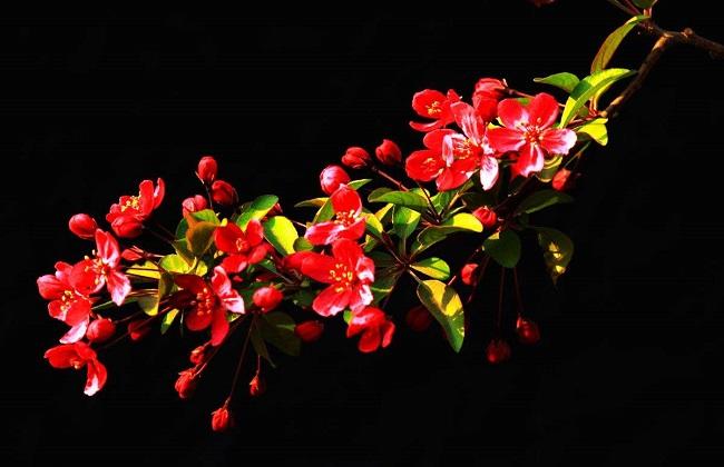 海棠叶子干枯图片