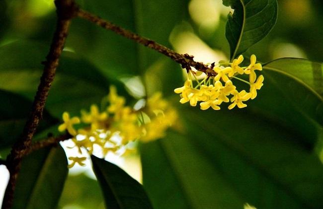 桂花出现黄叶怎么处理图片