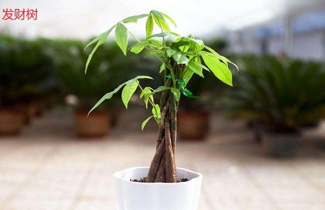 幸福树和发财树有什么区别