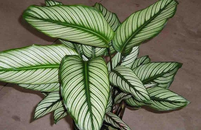 双线竹芋叶子发黄图片