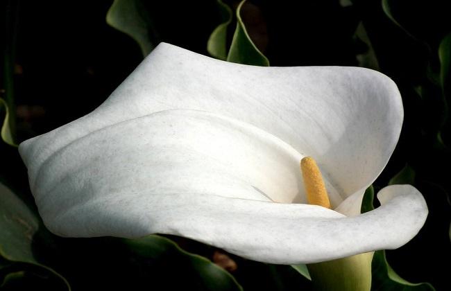 白鹤芋叶子发黑怎么办图片