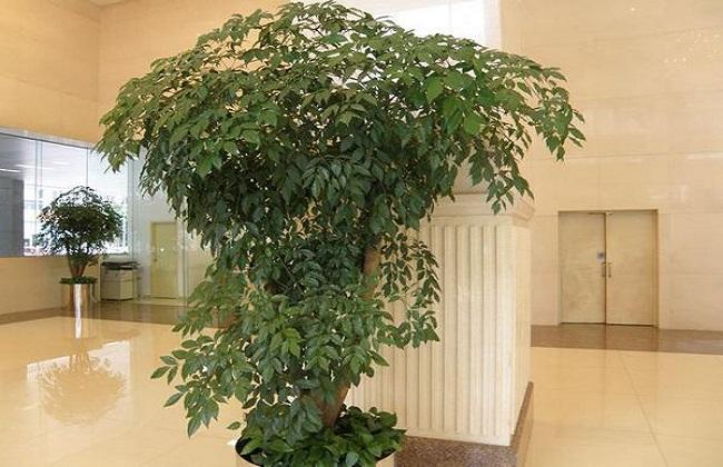 幸福树叶子干枯的解决方法